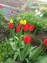 Moje tulipány