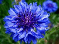 2  ~  'Lovely Cornflower Blues'
