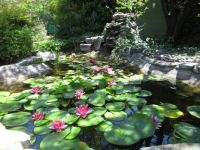 Water lily/fish pond