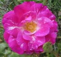 My rose in the front garden.....