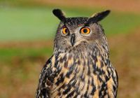 Eurasean Eagle Owl (Bubo bubo)