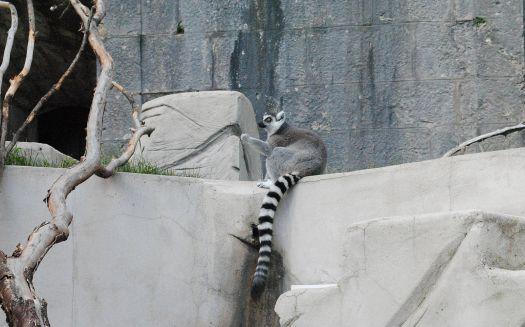 Maki Catta or Ring-tailed Lemur