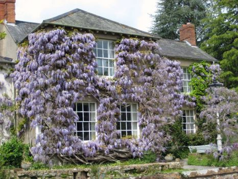 House wearing Wisteria