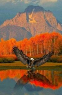 Bald Eagle at Teton National Park!