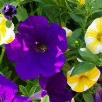 blue and candy stripe yellow petunias