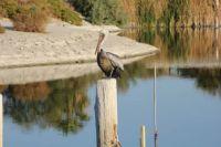 Pelican resting at the Salton Sea, California