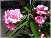 Pink color, sweet spicy aroma  -  Barva růžová, vůně sladce kořeněná