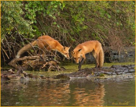 Foxes on Presque Isle