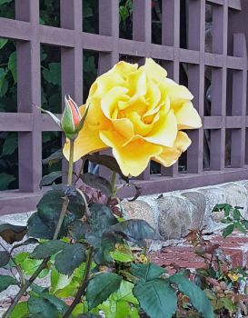 Yellow Rose on Wood