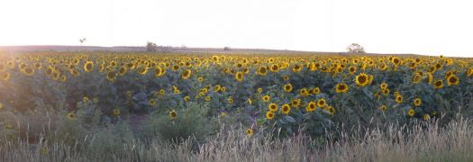 sunflowers in the evening.