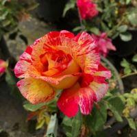 Crazy rose :)