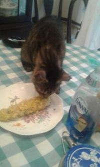 Cat eats corn