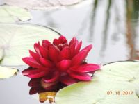 Water lily in neighbor's pond