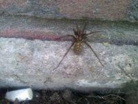 Itsiebitsie spider