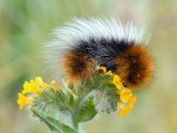 FLUFFY CATERPILLAR ON YELLOW FLOWER...