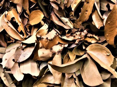 Bay Leaves, Sri Lanka