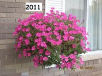 My Petunias in 2011