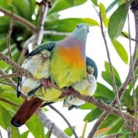 Parenting in the wild- Rainbow Pigeons