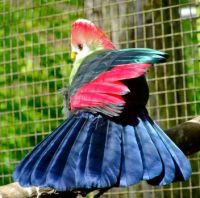 Red-crested Touraco