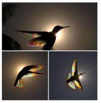 Black Jacobin Hummingbird, sunlight shining through it's wings.