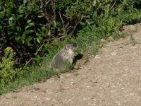Marmot Ready to Run