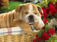 English Bulldog 1