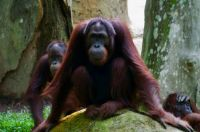 Serious orangutan