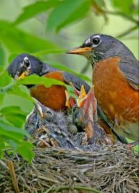 Robins? and their young