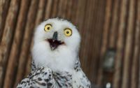 Silly Snowy Owl