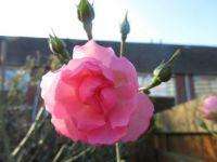 My Bonica Rose (and buds) in the sun....
