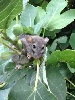 A Visitor To My Fig Tree....He Did Leave Me Some, Though