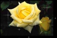a perfect twinkling rose