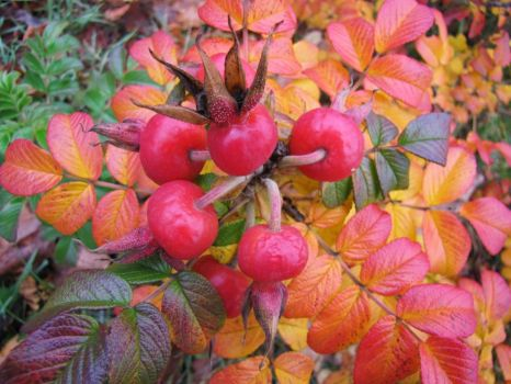 autumn's rose hips