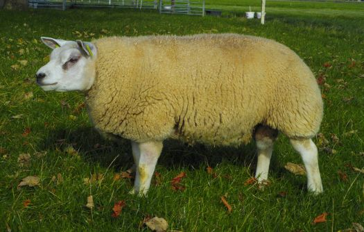 A  6 month old male of the Texel breed