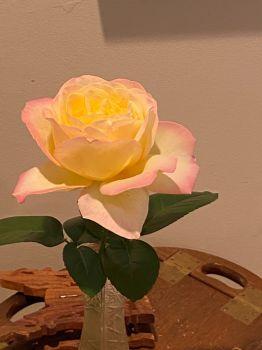 Fully grown Peace Rose