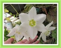 My Eucharis Lily.  Larger.