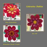 Colorette Dahlias