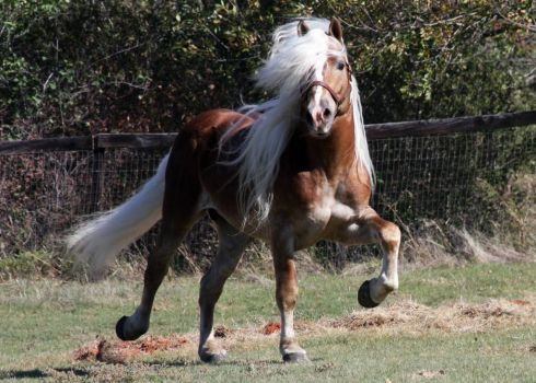 Notice Me - Haflinger Stallion