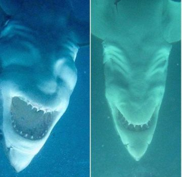 Confusing Perspective #70 (great white shark seen from below)