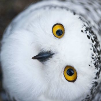 Snow or Arctic Owl.