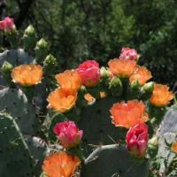 Prickly-pear-Cacti-Flowers