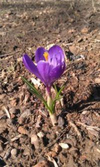 Springtime Crocus