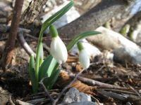 Zvonček - Snowdrop - Galanthus