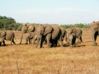 Elephants at Mashatu, Botswana