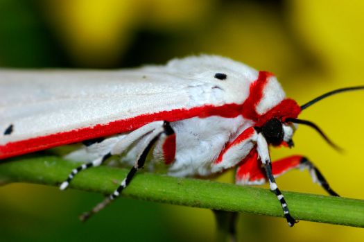 Candy-cane Moth