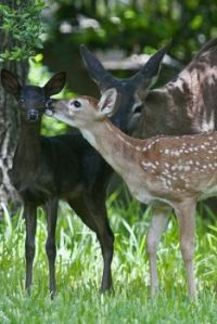 Rare black whitetail deer fawn