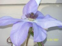 clematis-closeup of will goodwin