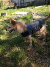 Izzy's new Thundershirt