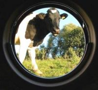 cow at the porthole
