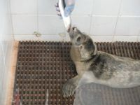 skegness...a rescued baby seal being fed